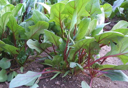 紅ほうれん草のサムネイル