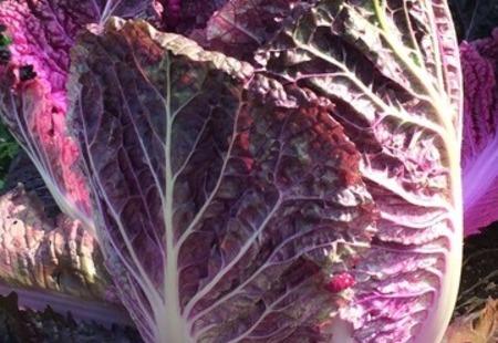 紫白菜のサムネイル